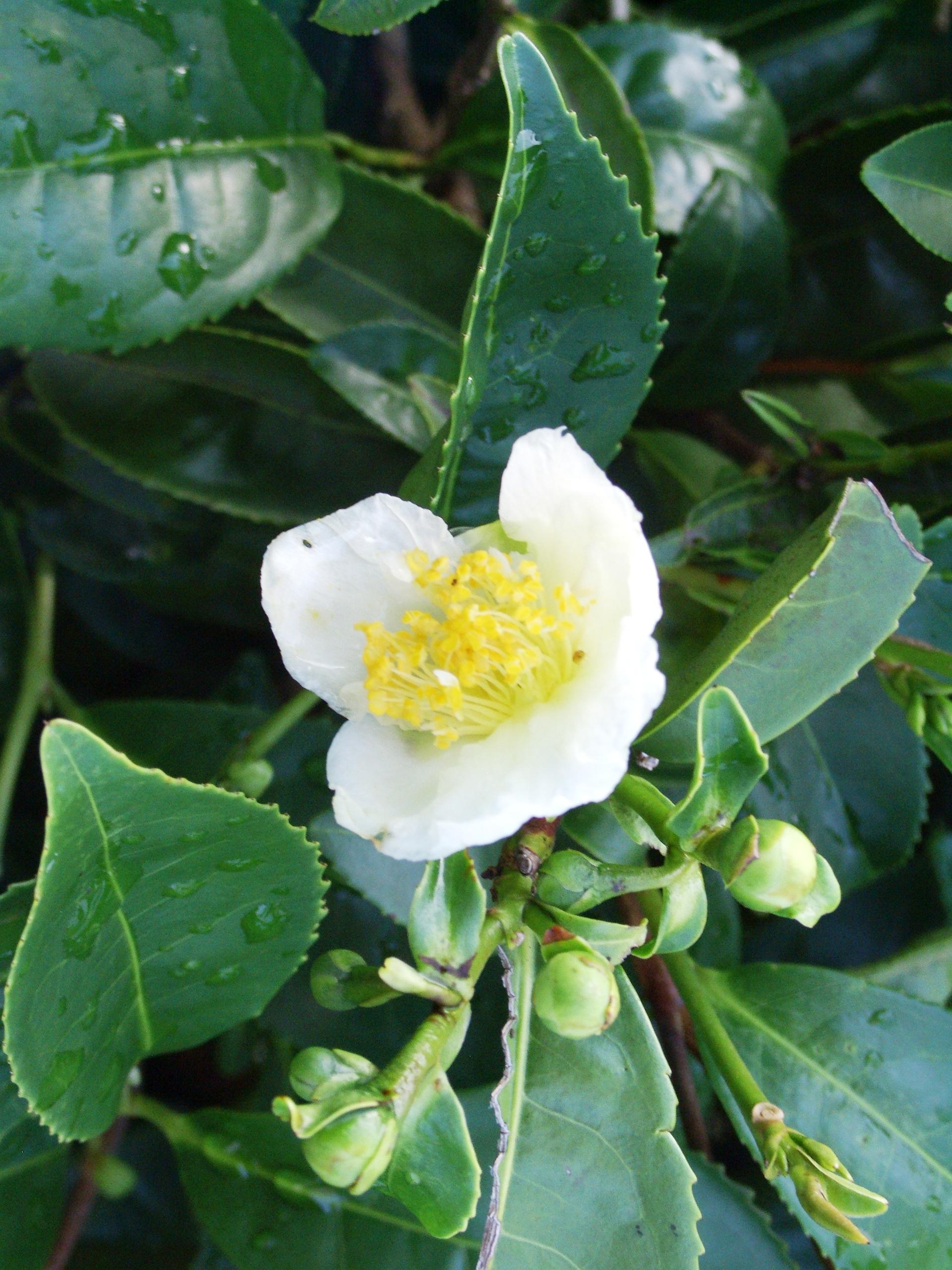 camellia-sinensis[2] (1)